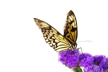 mariposas amarillas: leuconoe idea de flor violeta de cerca