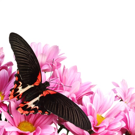 Papilio Lovii  on the flowers photo