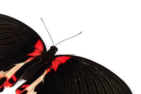 Papilio rumanzovia  isolated on white photo