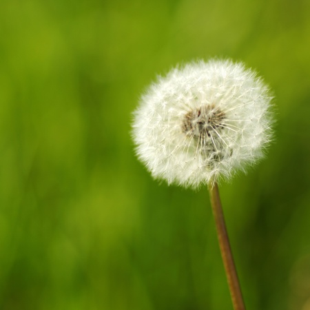 dandelion macro close up photo