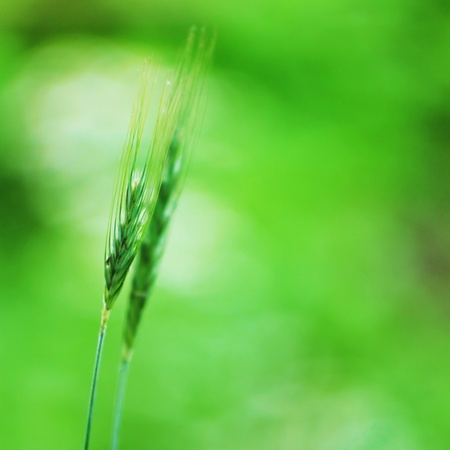 spikelets of oats macro close up photo