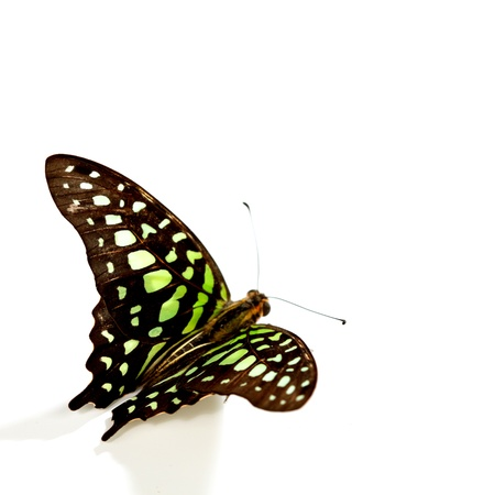 Graphium isolated on white background Stock Photo - 11949608