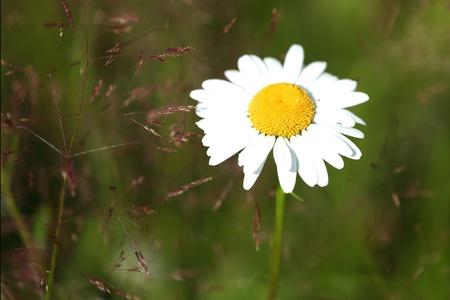 camomiles summer field photo