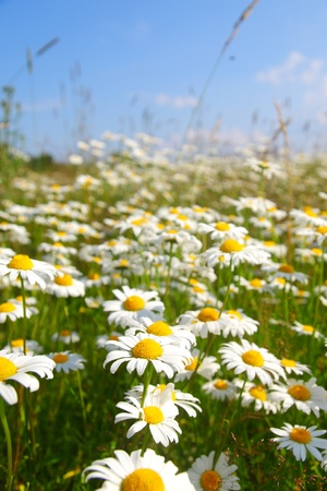 field with white daisies under sunny sky photo