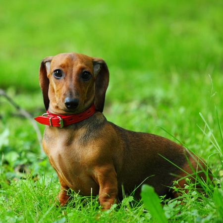 dachshund on green grass close up photo