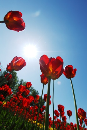 red tulips against the sky close up Stock Photo - 12040722