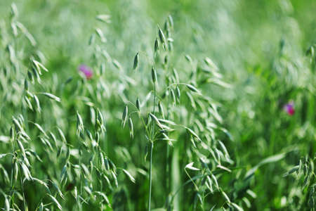 spikelets of oats macro close up Stock Photo - 12451758