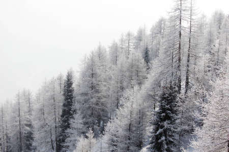 forest in snow on alpen top photo