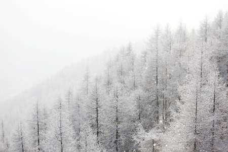 forest in snow on alpen top Stock Photo - 12508586