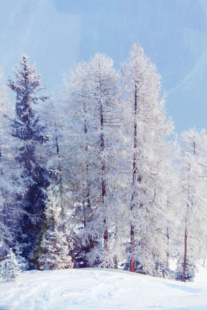 forest in snow on alpen top Stock Photo - 12508593