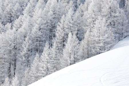 foresta in neve in cima alpen photo