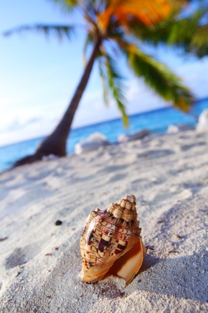 conch: shell on sand under palm Stock Photo