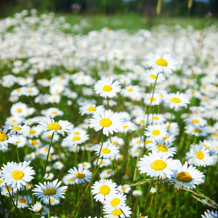 natural health and beauty: camomile field closeup Stock Photo