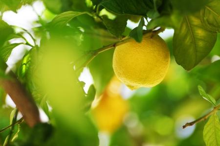 citrus tree: Lemon close up