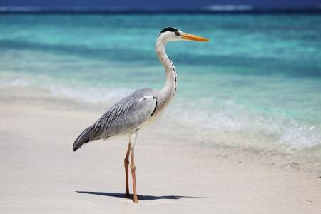 Stork on the ocean coast photo
