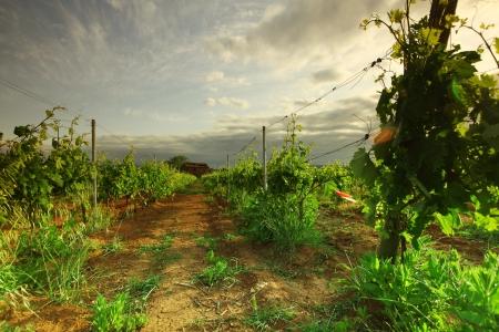 Vineyard in france on sunrise photo