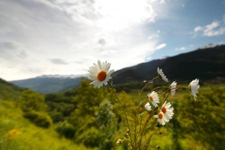 blue daisy: Beautiful camomile in Alps swiss Stock Photo