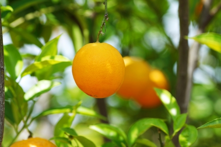 branch orange tree fruits green leaves in Valencia Spain photo