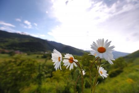 Beautiful camomile in Alps swiss photo