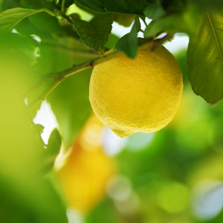 lemon tree: Lemon close up