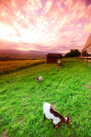 goats in green grass on sunrise photo
