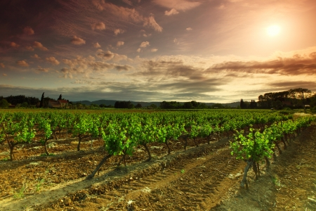 Orange Sky over Green Vineyard Stock Photo - 14685095