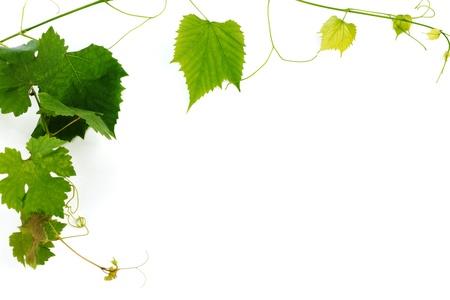 vid: hojas verdes de vino