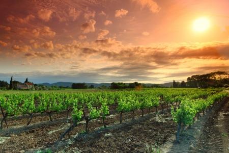 vi�edo: Orange Sky Vineyard sobre Green Foto de archivo