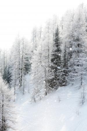 sapins: for�t dans la neige au-dessus alpen