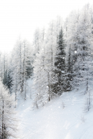 snowy background: forest in snow on alpen top