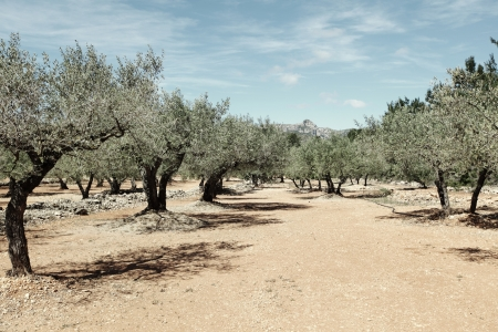 Olive Trees in spain photo