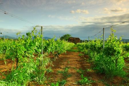 barossa: Vineyard in france on sunrise Stock Photo