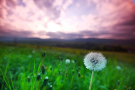 midday: some white dandelions on sunrise
