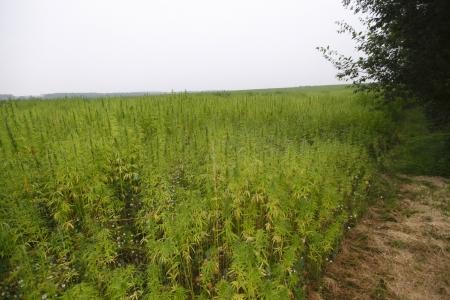 hanf: Hanf Cannabis Feld in Frankreich Lizenzfreie Bilder