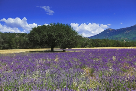 beautiful image of lavender field photo