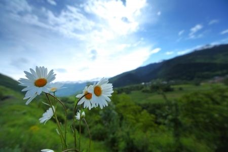 Beautiful camomile in Alps swiss photo