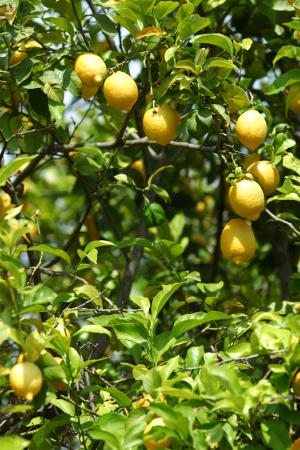 Lemon close up photo