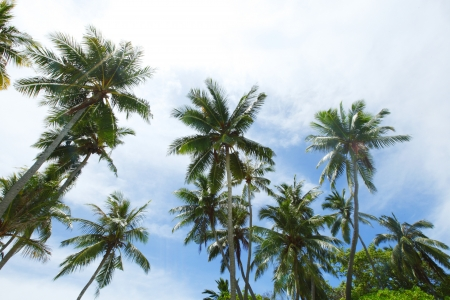 Palm trees on blue sky with white clouds background photo