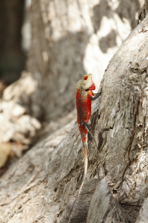 Red chameleon on bark of tree outdoors photo
