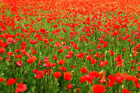 red poppies on green field: Field of poppies with beauty sky
