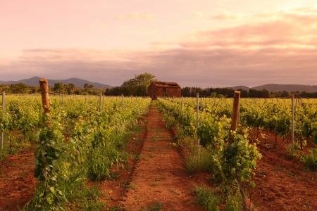 grape field: Vineyard in france on sunrise Stock Photo