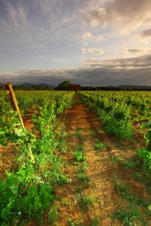 Vineyard in france on sunrise Stock Photo - 16787408