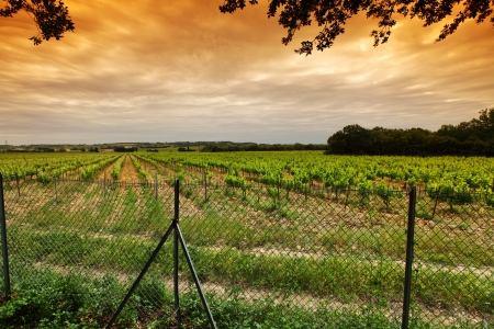 Orange Sky over Green Vineyard photo