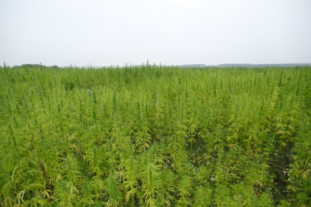 hemp cannabis field in france Stock Photo - 17182381