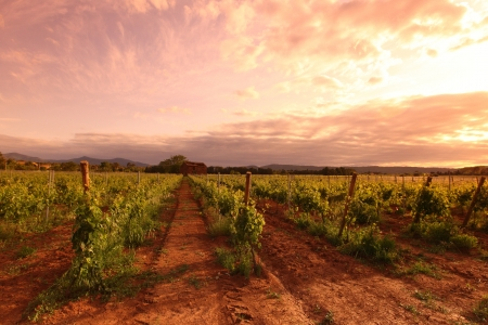 Vineyard in france on sunrise 版權商用圖片