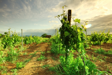 Vineyard in france on sunrise Stock Photo
