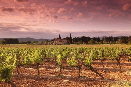 Vineyard in france on sunrise photo