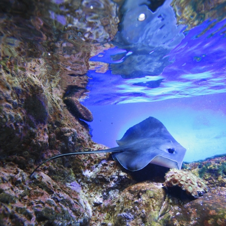 Stingray swimming on tropical coral reef photo