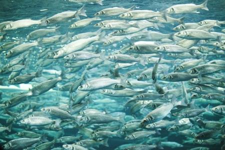 atun: Muchos pescados de la caballa, vista bajo el agua