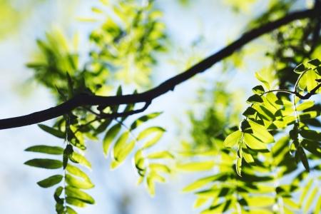 Vogelbeere: Green Frühjahr Rowan Blätter Hintergrund Lizenzfreie Bilder